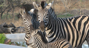 Gallery - Marlothi Safari Park - Komatipoort, Malelane, Mpumalanga, Accommodation, Camping, Self-catering